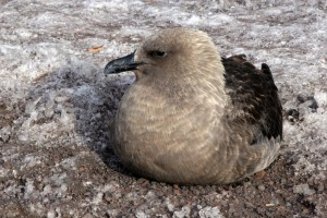 A skua rests on the icy ground at McMurdo Station.