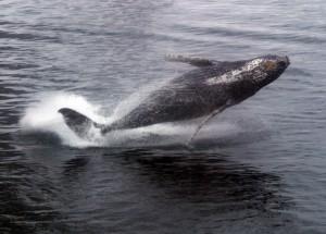 humpback_breaching